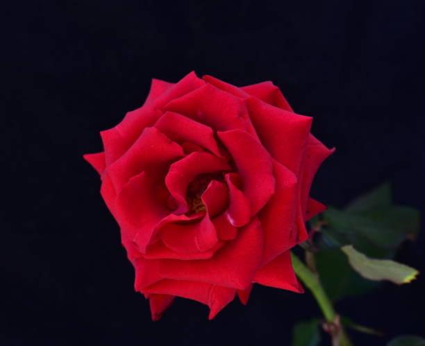 Schöne Rote rose – Foto