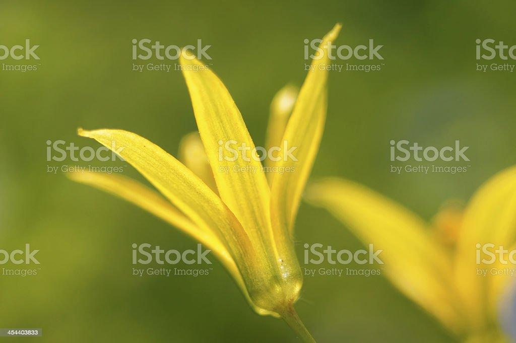 Nice spring flower close up (gagea lutea). royalty-free stock photo