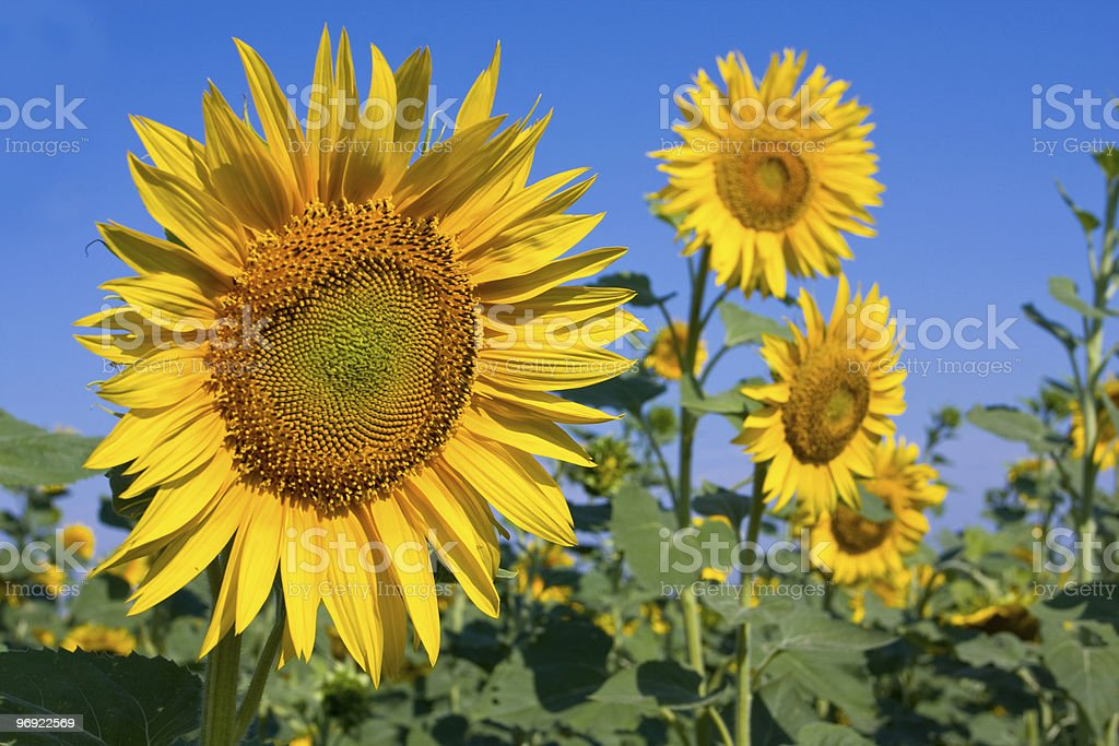 Nice sunflowers at summer time royalty-free stock photo