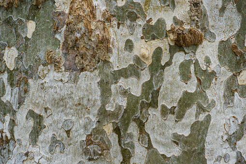 Nice texture of American Sycamore Tree bark (Platanus occidentalis variegata, Plane-tree)in Arboretum Park Southern Cultures in Sirius (Adler) Sochi. Natural spotted platanus tree bark