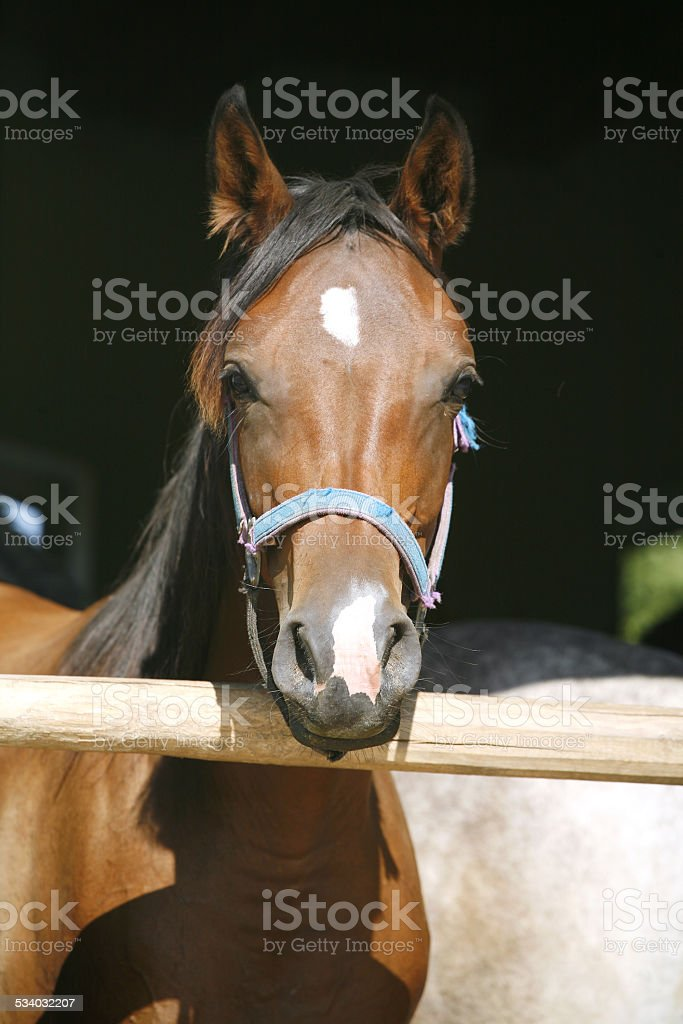 Nice thoroughbred chestnut bay horse in the stable stock photo