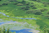 Nice view of the swamp in summer. Impenetrable swamp with water bushes and thickets. Natural landscape. Beautiful scenery. Wild nature