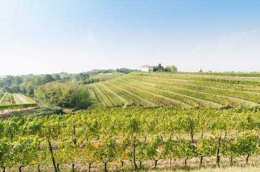 Nice Vineyard Landscape At North Of Italy Stockfoto und mehr Bilder von Agrarland