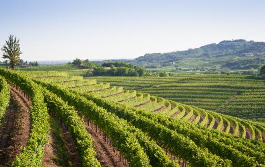 Nizzaweinberglandschaft Im Norden Italiens Stockfoto und mehr Bilder von Anhöhe