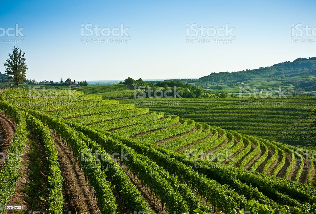 Nice vineyard landscape north of Italy stock photo