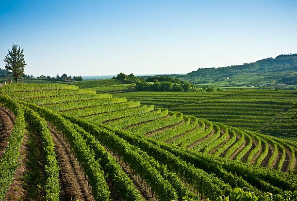 nizza-weinberg-landschaft im norden italiens - friaul julisch venetien stock-fotos und bilder