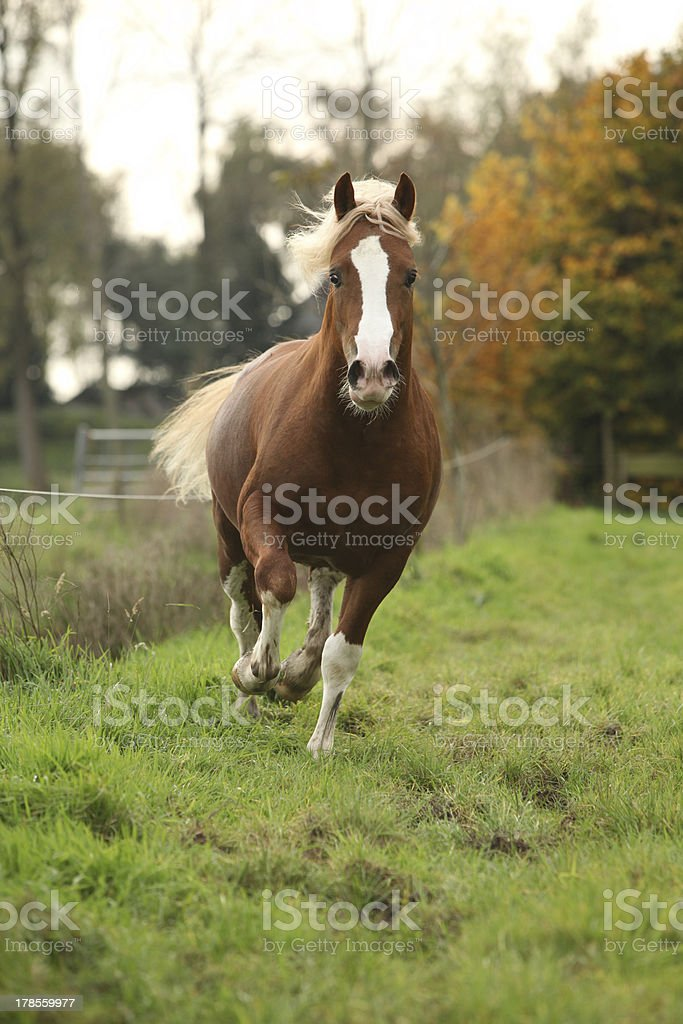 Nice welsh pony stallion with blond hair running on pasturage royalty-free stock photo