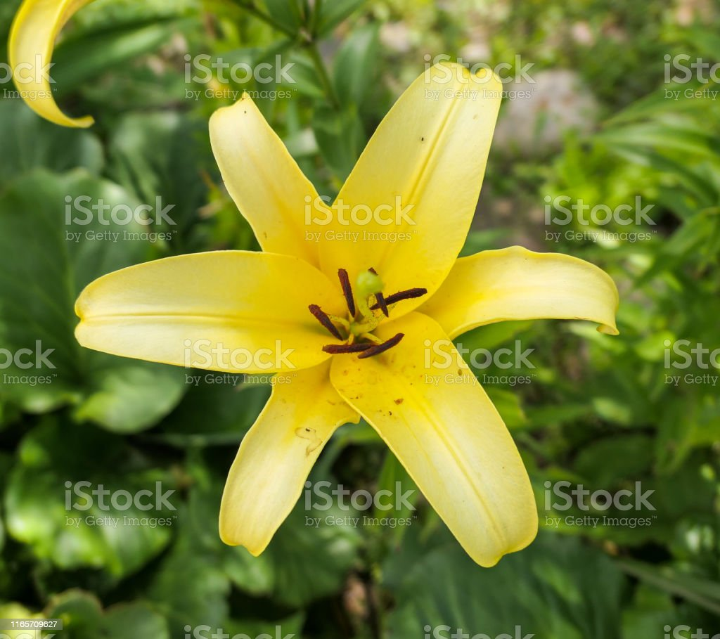Nice Yellow Lily Flowers In Orthodox Church Garden In Summer Stock