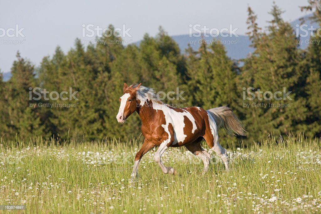 Nice young appaloosa horse running stock photo