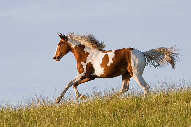 Nice young appaloosa horse running Nice young appaloosa horse running on horizon appaloosa stock pictures, royalty-free photos & images