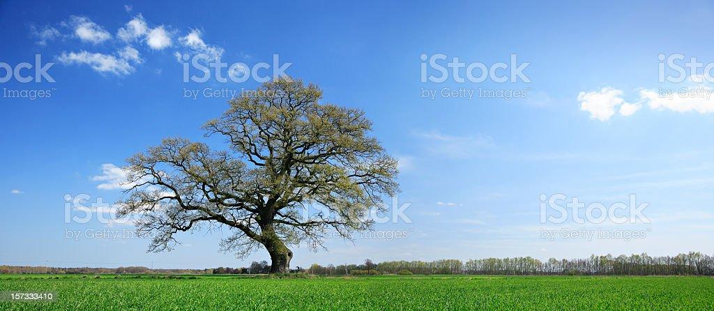 Nicely shaped oak tree royalty-free stock photo