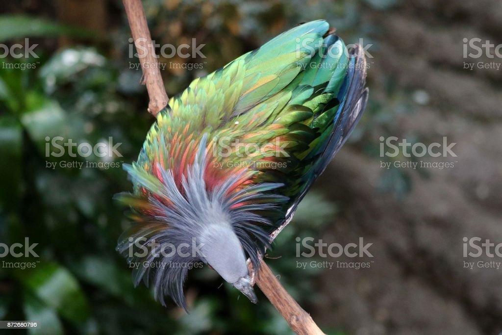 Nicobar Pigeon 1 stock photo