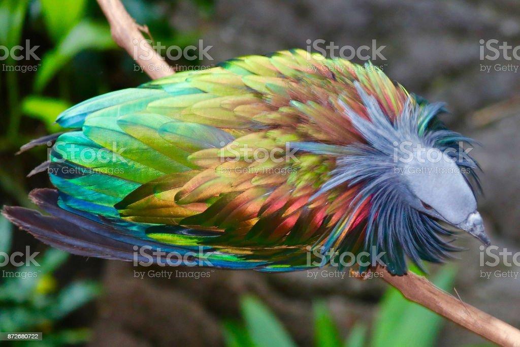 Nicobar Pigeon 4 stock photo