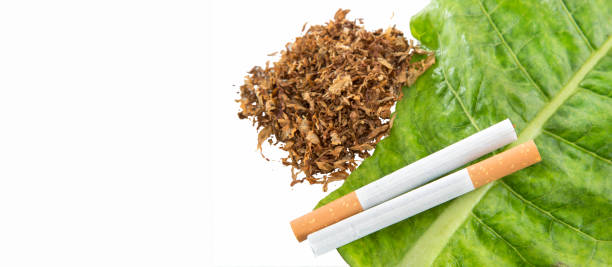 ニコティアナ・タバカム - 緑のタバコの葉にたばこ - 葉たばこ ストックフォトと画像