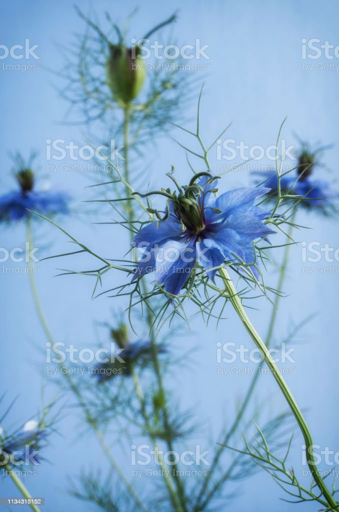 Nigella Against a Blue Background stock photo
