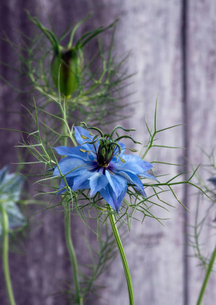 Nigella Against a wooden background stock photo