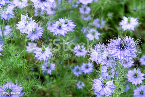 istock Nigella damascena in bloom 1269804953