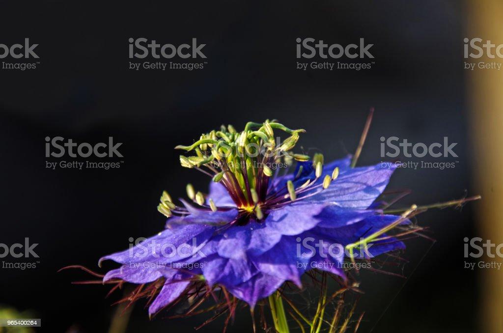 Nigelle de damas - Photo de Arbre en fleurs libre de droits