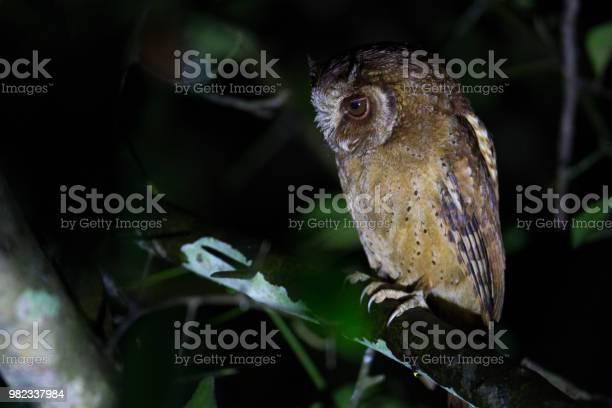 Night bird whitefront scops owl angle view front shot sitting and on picture id982337984?b=1&k=6&m=982337984&s=612x612&h=efh3avgffghcizd jf4amj1vivaqaupwcjwimjlb9yu=