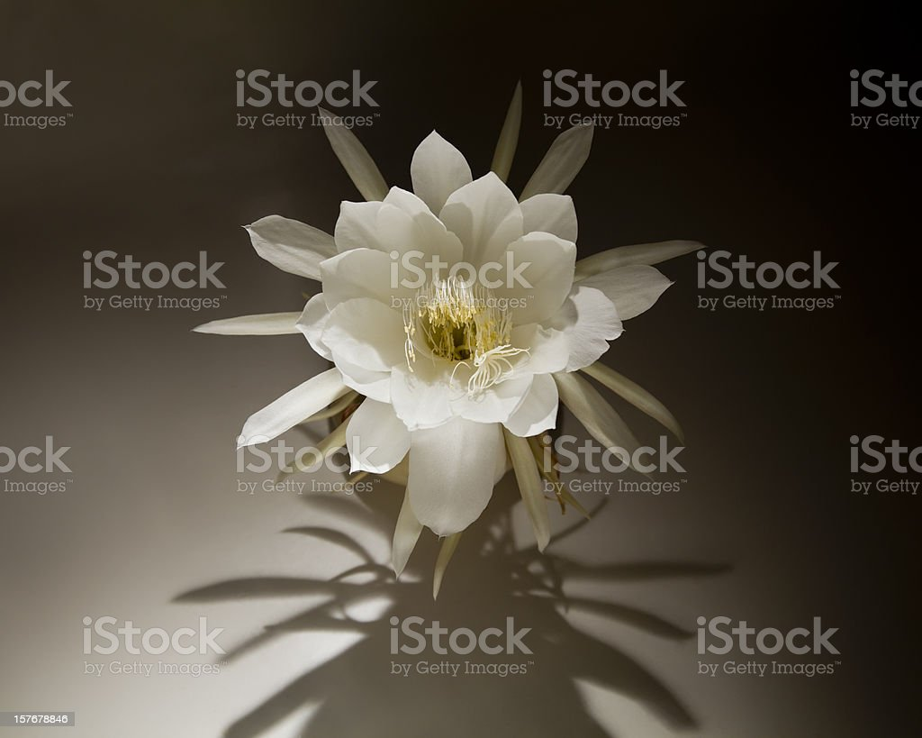Night Blooming Cereus with Dramatic Shadow stock photo