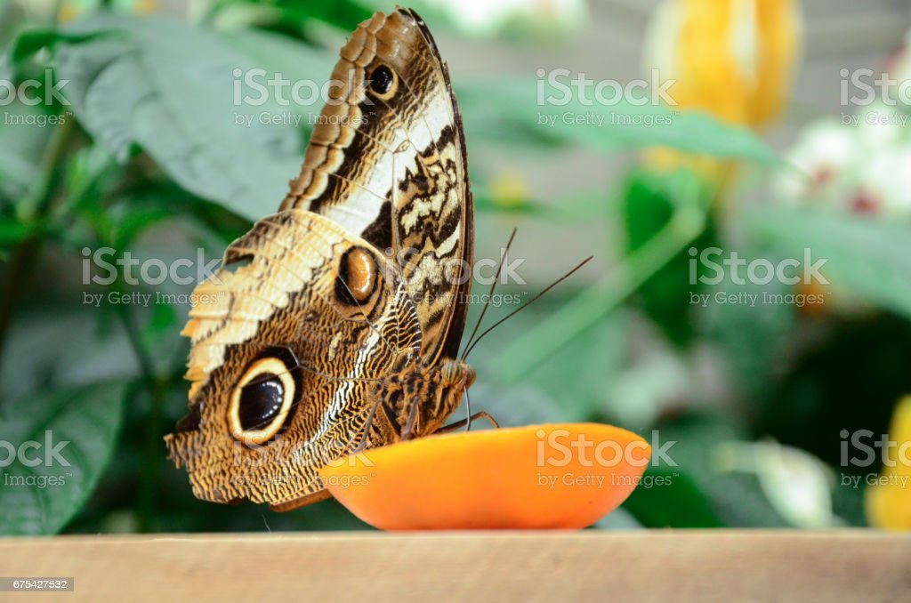 Night butterfly eating fruit royalty-free stock photo