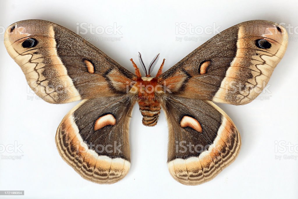 Night Butterfly Isolated on White Background royalty-free stock photo
