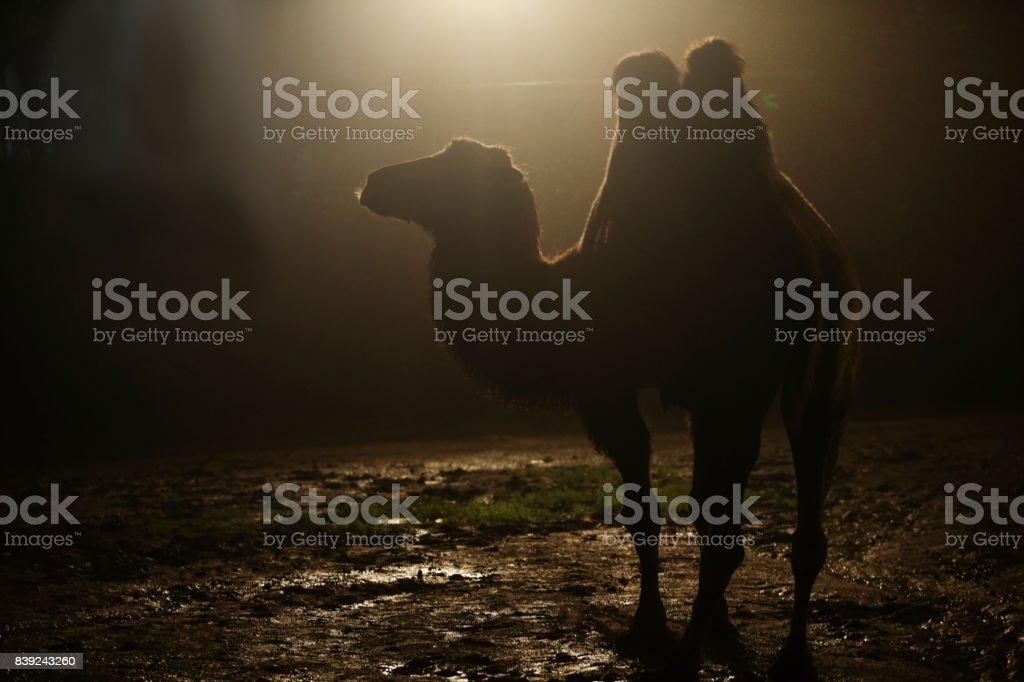Night camel stock photo