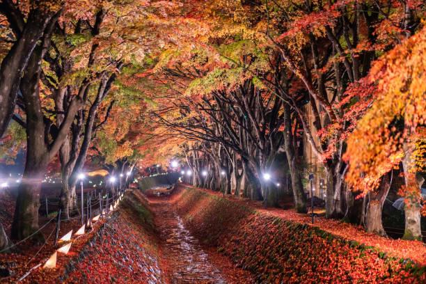 Night display of the colorful trees in autumn at Fujikawaguchiko next to Lake Kawaguchi in Japan Night display of the colorful trees in autumn at Fujikawaguchiko next to Lake Kawaguchi in Japan lake kawaguchi stock pictures, royalty-free photos & images
