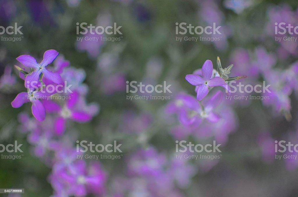 Night flowers violet spring gentle Matthiola longipetala background stock photo