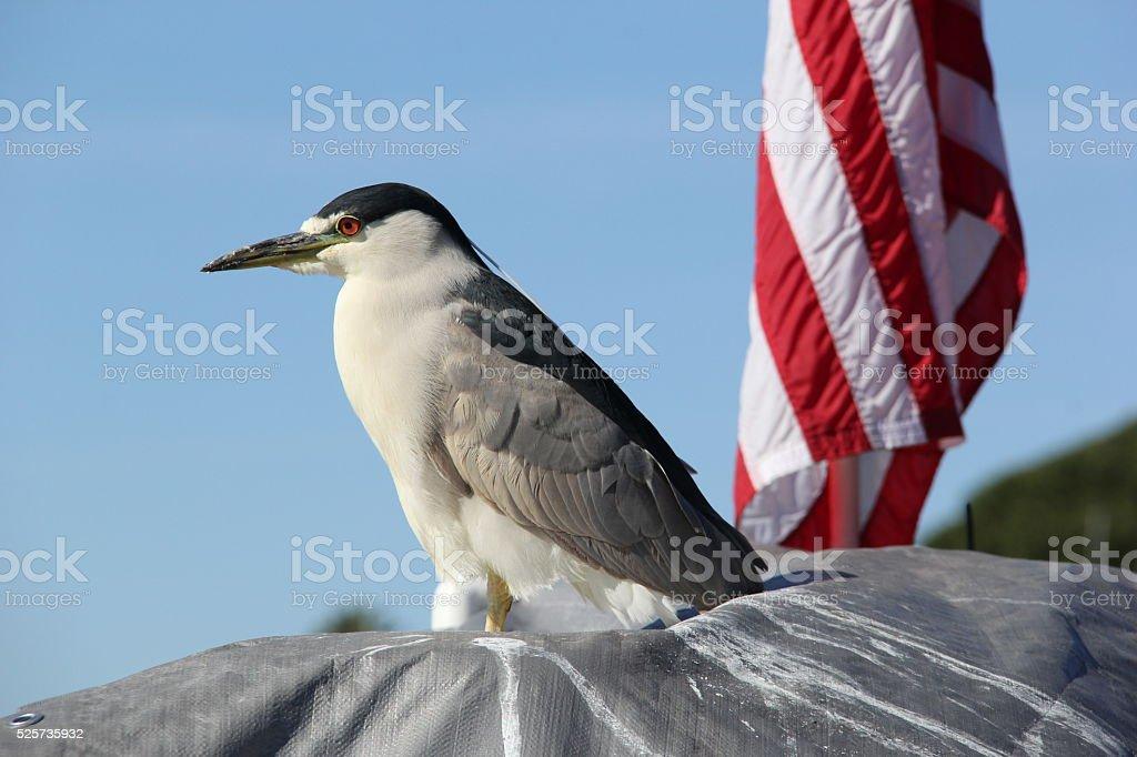Night Heron with American Flag stock photo