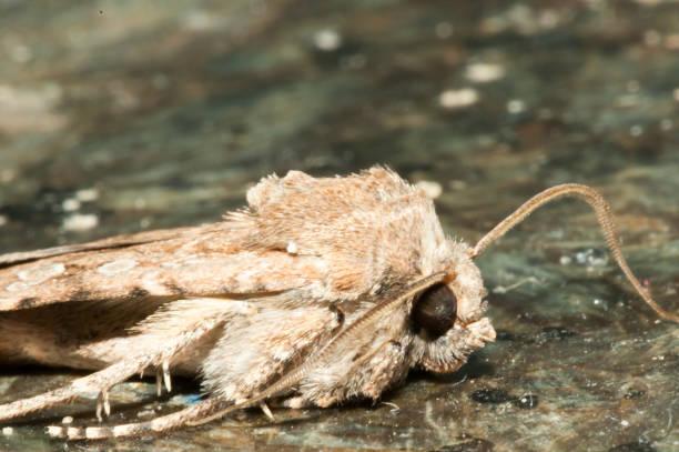 nacht insekt braune motte - mehlmotten stock-fotos und bilder