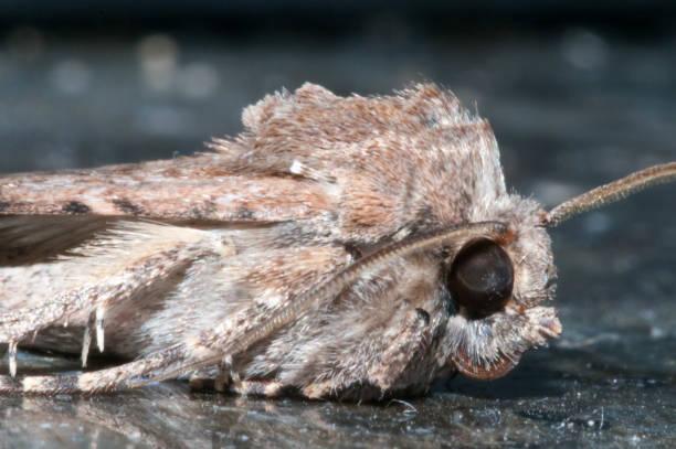 nächtlicher insektenmoth - mehlmotten stock-fotos und bilder