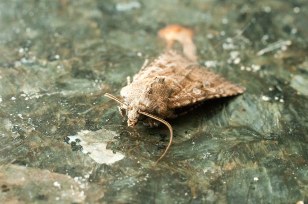 nacht insekt brown motte - mehlmotten stock-fotos und bilder