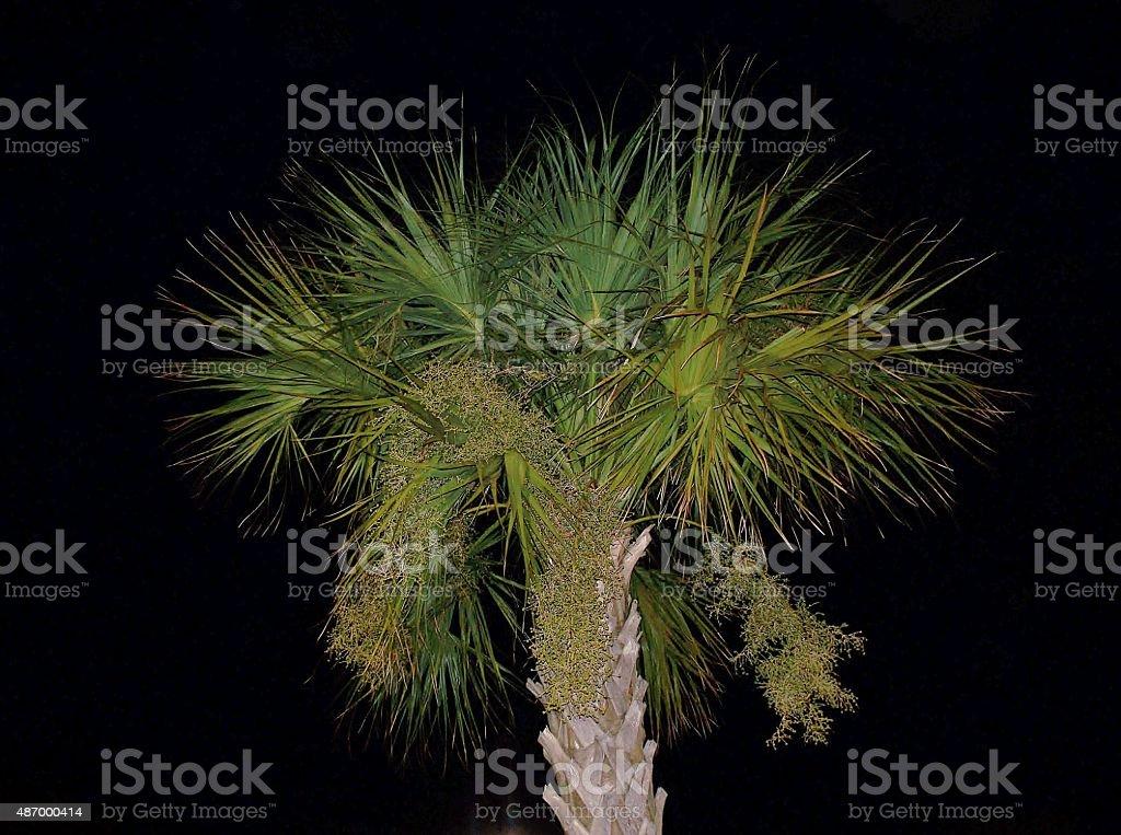 Night Palm stock photo
