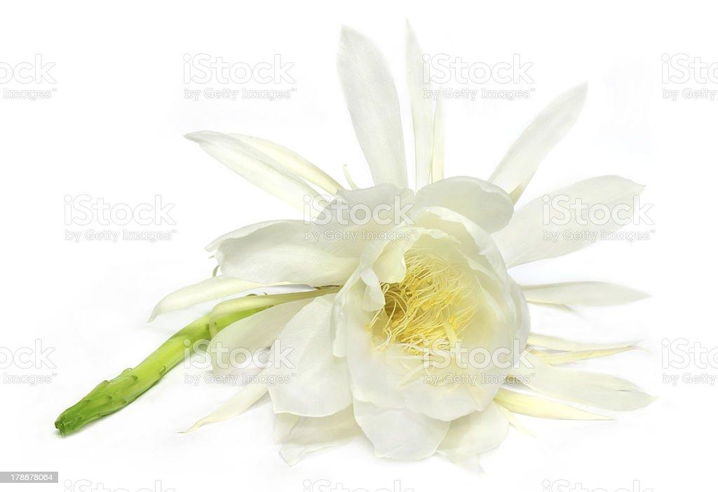 Night queen flower stock photo