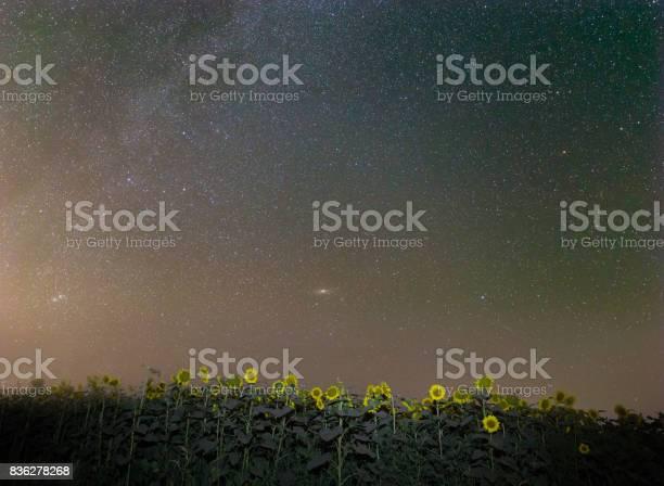 Photo of night scene, sunflower field under a starry sky