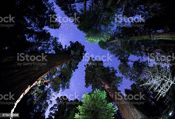 Photo of Night Sky above the Giant Sequoia Treetops