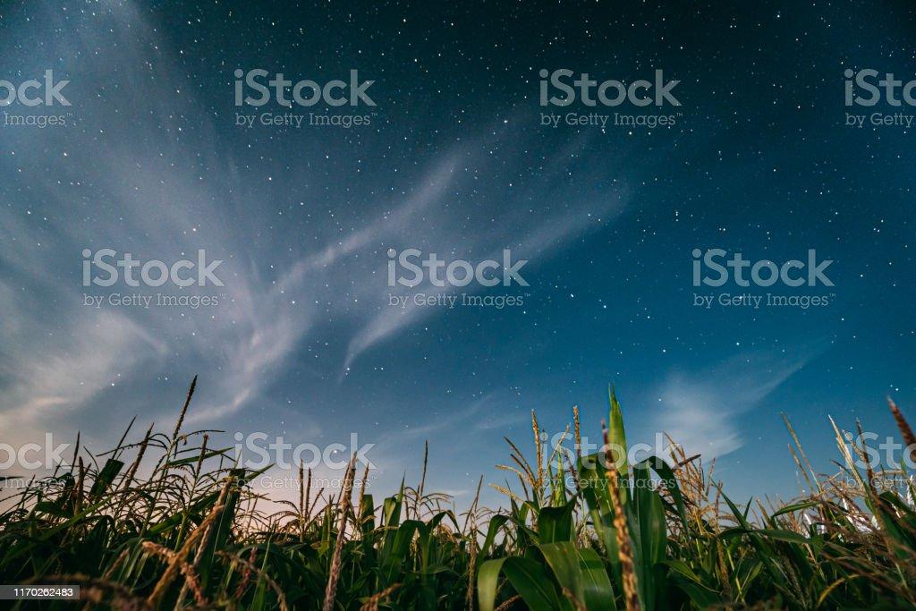 Night Starry Sky Above Green Maize Corn Field Plantation In Summer...