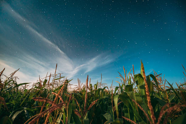 Night Starry Sky Above Green Maize Corn Field Plantation In Summer Agricultural Season. Night Stars Above Cornfield In August Month stock photo
