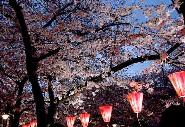河上櫻花的夜景圖像檔
