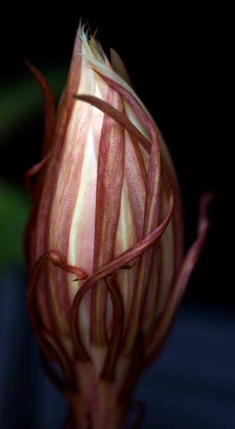 Night-Blooming Cereus Bud stock photo