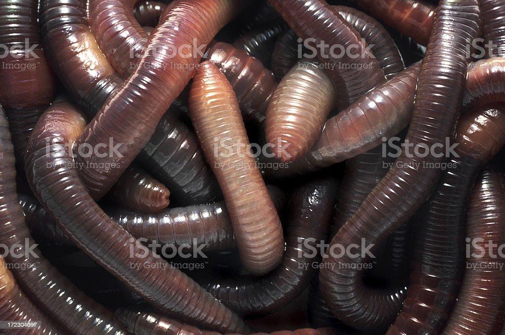 nightcrawlers in a pile stock photo