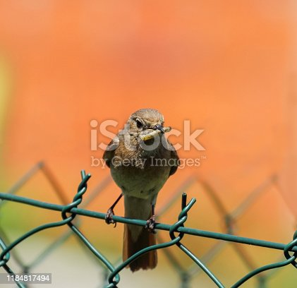 Nightingale bird standing on the fence and holding a worm in its beak
