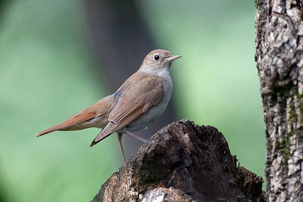 Nightingale, Luscinia megarhynchos - Photo
