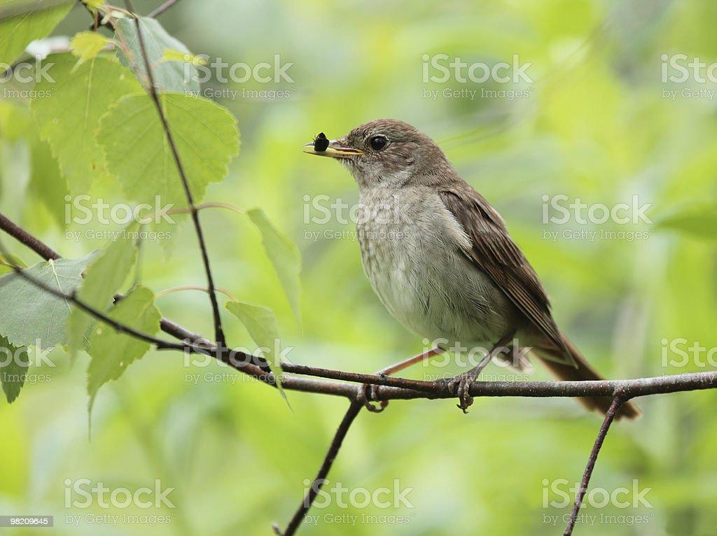 Nightingale. royalty-free stock photo
