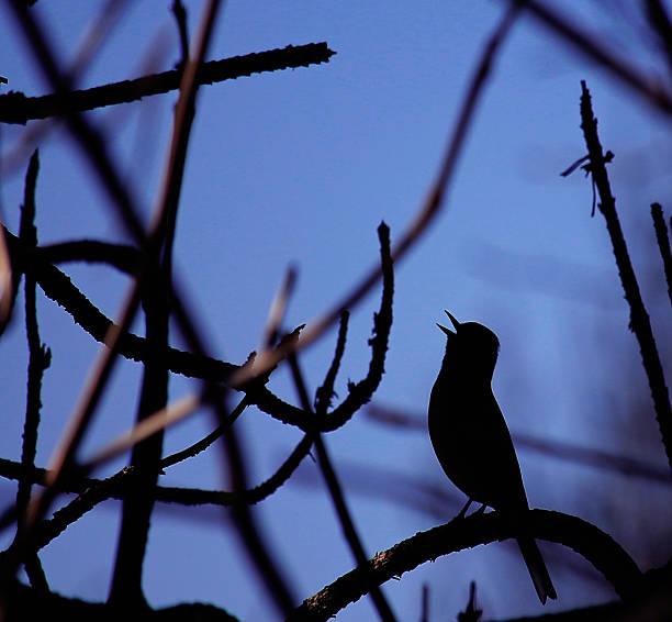 Rossignol philomèle chanter de nuit - Photo