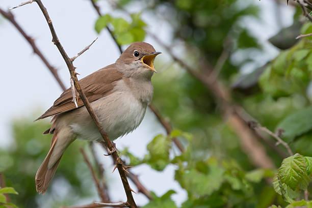 Nightingale chantant au Pulborough brooks RSPB - Photo