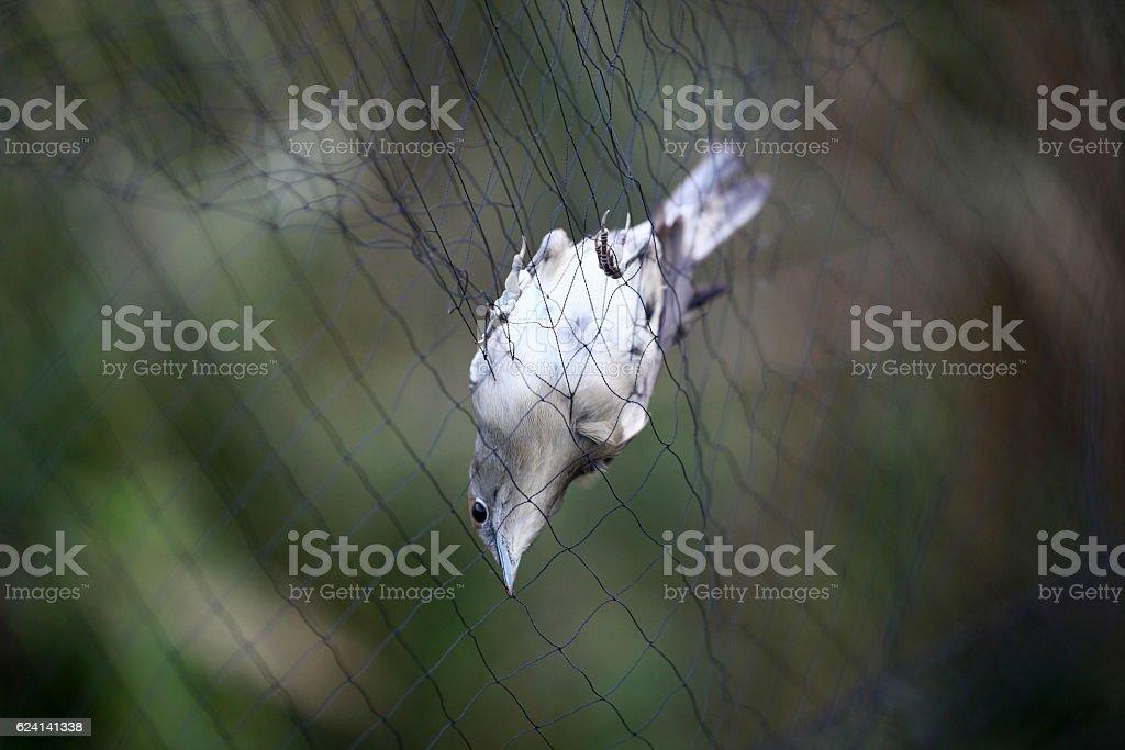 Nightingale trapped stock photo