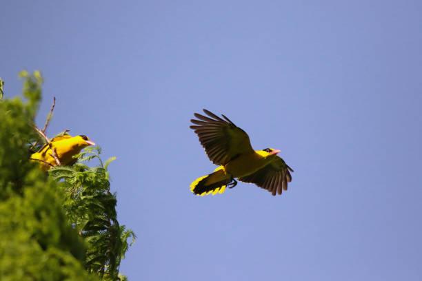 VH510 Rossignol-oiseau - Photo