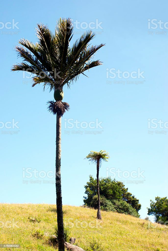 Nikau Palm and Ponga Treefern, New Zealand stock photo